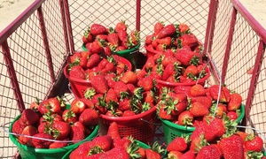 Cullipher Berry Patch: Strawberry-Picking for Four at Cullipher Berry Patch (Up to 45% Off). Two Options Available.