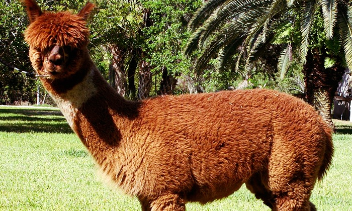 STARanch Alpacas - Alva: One-Hour Alpaca Trek with a Riverside Picnic for One or Two from STARanch Alpacas (Up to 62% Off)