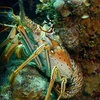 Up to 44% Off Lobster-Diving Tour