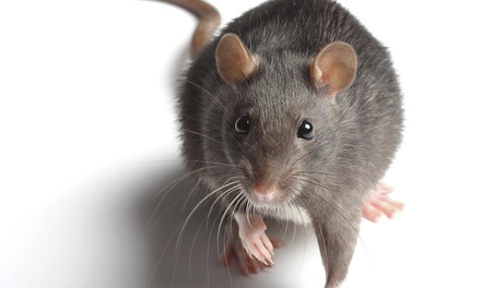 Rodent Cleanup and Disinfection from Citra Pest Control (45% Off)