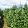 29% Off Balsam Fir Christmas Tree