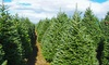North Pole Xmas Trees - Multiple Locations: One 7'-8' Premium Balsam Fir Christmas Tree at North Pole Xmas Trees (29% Off). Two Options Available.