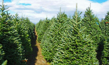 One 7'-8' Premium Fraser Fir Christmas Tree at North Pole Xmas Trees (34% Off). Two Options Available.
