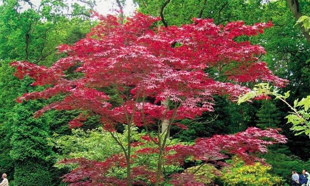 M lange d 39 rable japonais groupon for Couverture plante hiver