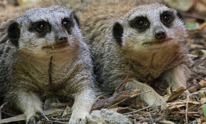 image for Meerkat Experience for Two or Four at Eagle Heights (Up to 62% Off)