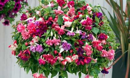 5,10 or 20 Hardy Fuchsia Plants