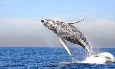 Three-Hour Whale-Watching Cruise for One, Two, or Four with Channel Islands Whale Watching (Up to 37% Off)