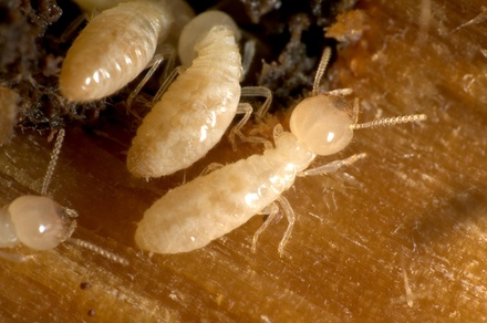 $27 for $275 Groupon  AZ Cardinal Pest & Termite Control