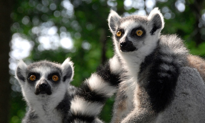 Duke Lemur Center - Durham: Lemurs Live! Tour for 2 or Walking with Lemurs or Weekday Tour for 1 at Duke Lemur Center (Up to 42% Off)