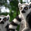 Up to 42% Off Tours at Duke Lemur Center