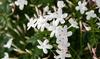 Lot de 3 ou 6 plants de jasmin 'Jasminum officinale'