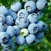 $9 for Blueberries at Bass Pecan Company