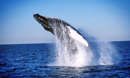 Morning Whale-Watching Trip for One or Two from 7 Seas Whale Watch (Up to 43% Off)