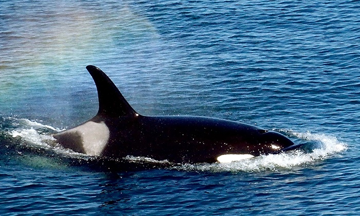 Mystic Sea Charters - Cap Sante Marina, Dock A: Orca Whale-Watching Tour for One, Two, or Four from Mystic Sea Charters (Up to 42% Off)