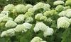 Hydrangea Flowering Shrubs Bare Root Plants (Set of 1 or 3): Hydrangea Flowering Shrubs Bare Root Plants (Set of 1 or 3)