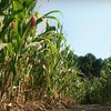 Up to 55% Off Admission to Corn Maze in Garner