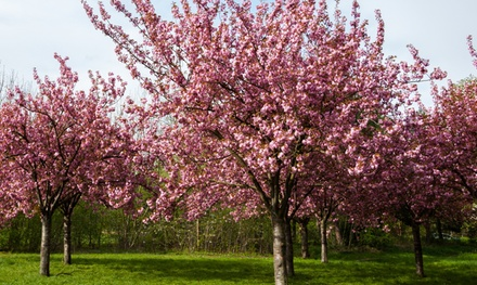 One or Two 1.4m Flowering Cherry Almond Trees