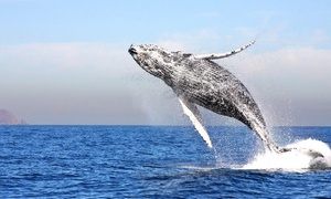 Channel Islands Whale Watching: Three-Hour Cruise for One, Two, or Four from Channel Islands Whale Watching (Up to 50% Off)