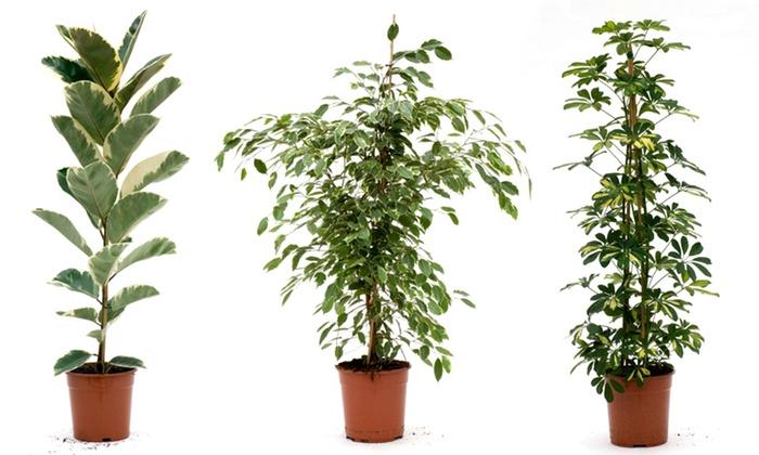 Plantes d 39 int rieur groupon shopping for Plantes d interieur decoration