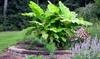 3er- oder 6er-Set Bananenbaum Musa Basjoo
