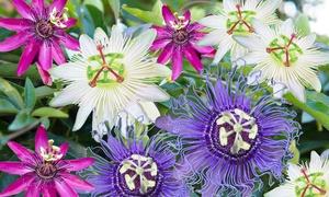 Lot de 3 ou 6 différentes sortes de Passiflora