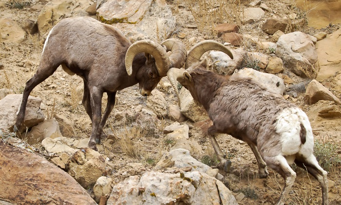 Rob's Wildlife - Green River Motel: One- or Two-Day Green River Big-Horn-Sheep Adventure with Lunch for Two from Rob's Wildlife (Up to 53% Off)