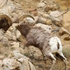Up to 53% Off Big-Horn-Sheep Adventure