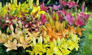 Mélange bulbes de lys asiatiques
