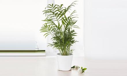 Palma peruviana