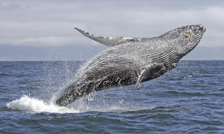 Whale Watching Cruise with Meal: Weekday ($39) or Weekend Ticket ($45) with Oz Whale Watching (Up to $94 Value)