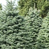 51% Off Christmas Tree from Reindeer Forest Tree Farms