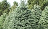 Reindeer Forest Tree Farms - Santa Ana: $69 for a 7' to 8' Noble Fir Christmas Tree from Reindeer Forest Tree Farms ($139.95 Value)