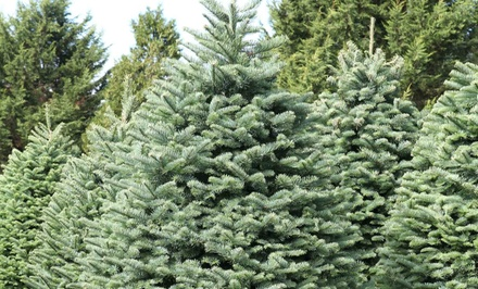 6' to 7' or 7' to 8'  Noble Fir Christmas Tree from Reindeer Forest Tree Farms (Up to 55% Off)