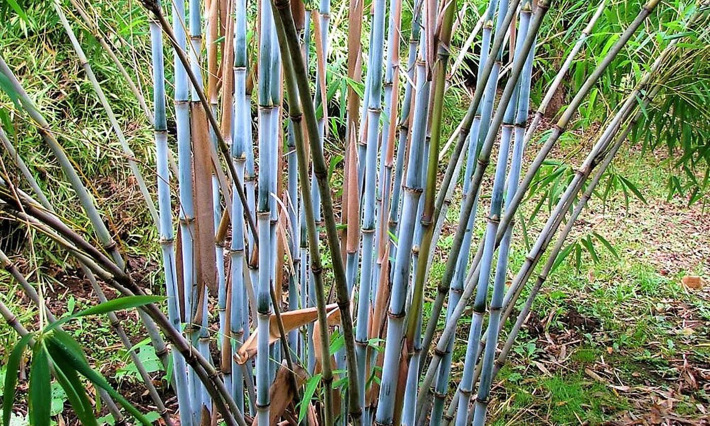 Fargesia Blue Dragon Bamboo Plants