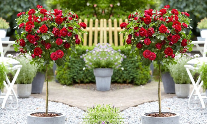 Two Patio Or Large Rose Trees ...
