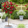 Pair of Rose Trees - Five Colours