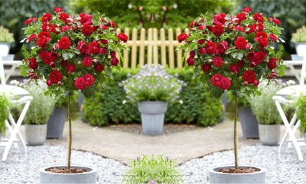Two or Four Patio or Large Standard Rose Trees with Optional Planters and Rose Feed