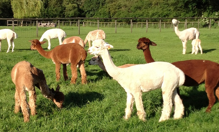 Pennybridge Alpacas: Two-Hour Experience For Two, Four or Six People from £25