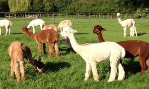 Pennybridge Alpacas: Alpaca Experience for Up to Six at Pennybridge Alpacas (50% Off)