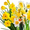 25-Pack of Narcissus Bulbs Spring Beauty Mix