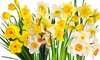 25-Pack of Narcissus Bulbs Spring Beauty Mix: 25-Pack of Mixed Narcissus Bulbs. Free Returns.
