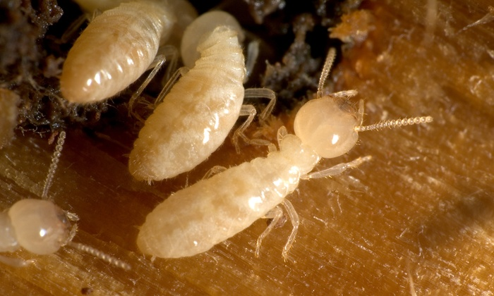 Mako Pest - Tallahassee: Home Inspection and Pest-Control Treatment or Termite Inspection from Mako Pest (Up to 75% Off)