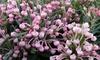 """1 ou 2 plantes Andromède Polifolia """"romarin des tourbières"""""""