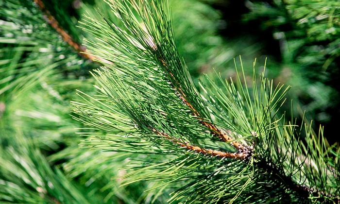 Blue Ridge Frasers - Aiken: Freshly Cut Fraser Fir Christmas Trees from Blue Ridge Frasers (Up to Half Off). Five Sizes Available.