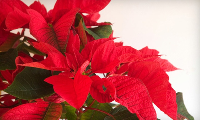 Frances Flower Shop - Little Rock: Poinsettia or Holiday Wreath at Frances Flower Shop (Up to 60% Off)