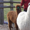 Alpaca Encounter For Two