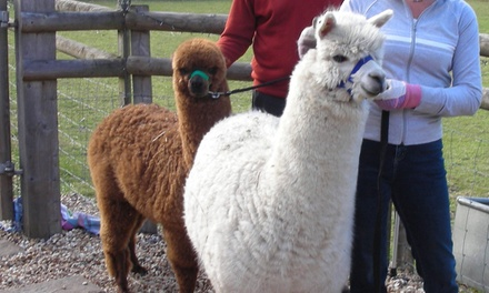 Alpaca Encounter For Two Pennybridge Alpacas Groupon