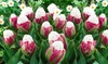 Double-Scoop Ice Cream Tulip Bulbs (3-, 6-, or 12-Pack)