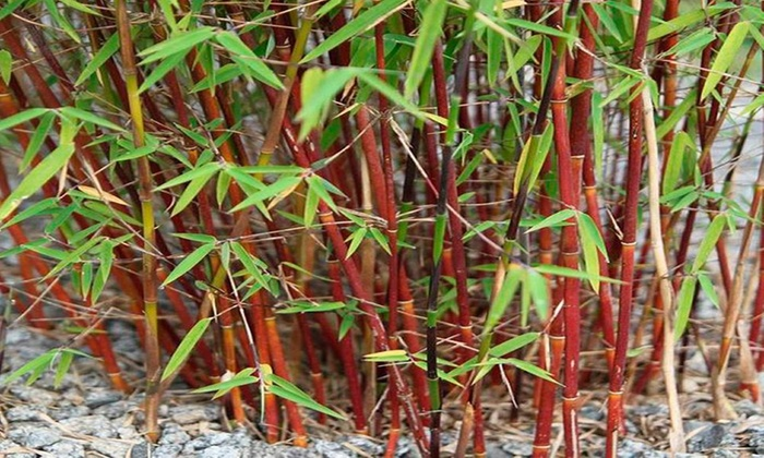 Two Bamboo Plants