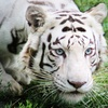 50% Off Zoo Tour and Play with Baby Tiger